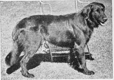 Ch. Moonstone, an influential black flat-coat champion who produced at least one red puppy named Foxcote, when bred to his mother.