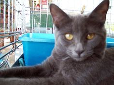Cloud - Approximately 8 months and very sweet. Cloud and Storm came to us from an animal hospital where they spent much of their kittenhood in a cage. They have really blossomed in their foster home and can't wait to find a home of their own.
