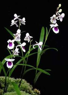 """Another fancy selected form of Ponerorchis graminifolia. The leaves are grass-like, hence the name graminifolia which means, """"grass leaf""""."""