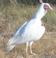 Albino Black Vulture, Coragyps atratus