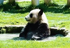 Or even hop in the pool | Community Post: 21 Things Furloughed #Pandas Can Do During The Government Shutdown #humor @BadgerMaps
