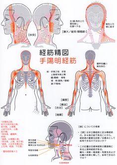 手陽明経筋(Ver2017) -TCM,Muscle meridian, Shou yangming(Ver2017)-