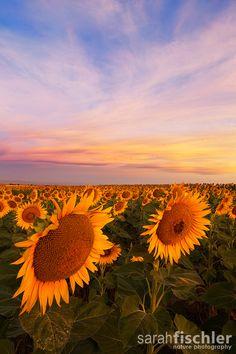 Sunflower Field Sunrise, Colorado