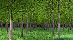 Poplar trees in Po Valley, Italy (© Eddy Galeotti/Alamy) – 2015-05-08  [http://www.bing.com/search?q=Po+Valley&form=hpcapt&filters=HpDate:%2220150508_0700%22]