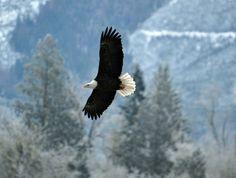 Eagle. Photographer Chuck Hillard
