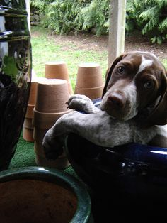 Puppy GSP - German Shorthaired Pointer... I will add one more in the next five years!!!