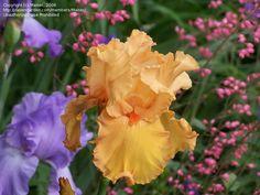 iris 'china dragon'