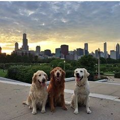 @goldens_of_chicago • Instagram photos and videos