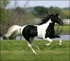Black and White horses | The Paint horse and Pinto horse - What are they? - Horse and Pony ...