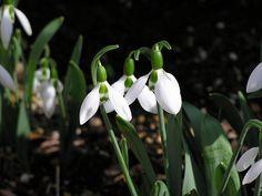 スノードロップ   和名 待雪草(マツユキソウ) ユリ科   花2月~3月 半日陰~日向   南ヨーロッパ南部に分布