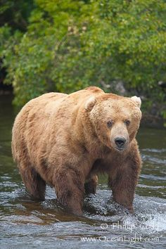 Grizzly Bear stare of death