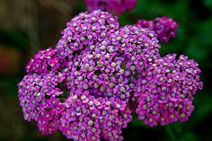 Achillea millefolium or yarrow is a flowering plant in the family Asteraceae, native to the Northern Hemisphere. In Spanish-speaking New Mexico and Southern Colorado, it is called plumajillo (little feather) for the shape of the leaves. • photo by Steven Depolo