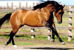 The American Quarter Horse - rugged, versatile, muscular & strong, adept at quick maneuvers, a sprinter, all around working horse and above all, an affectionate & easy going companion.