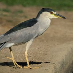 A Black-Crowned Night Heron in a rare appearance on the ground in broad daylight. As their name suggests, these birds are nocturnal, so spotting one during the day is a real joy. #blackcrownednightheron #birding #wildlifephotography #heron