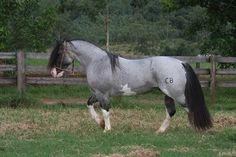 """Roan is a horse coat color pattern characterized by an even mixture of colored and white hairs on the body, while the head and """"points""""—lower legs, mane and tail—are mostly solid-colored. Most Beautiful Horses, All The Pretty Horses, Animals Beautiful, Rare Horses, Wild Horses, Black Horses, Horse Photos, Horse Pictures, Rare Horse Colors"""