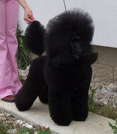 Asarah De Nigromanta - Poodles in Scandinavia Standard Poodles For Sale, Chocolate Poodle, Poodle Cuts, Toy Poodles, Purebred Dogs, The Body Shop, Shop Ideas, Animals And Pets, Best Dogs