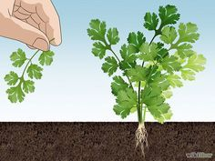 Growing Cilantro - The Cut and Come Again Method. Growing cilantro from seed is the only way to frugally get the organic supply you want. Corriander Plant, Planting Flowers, Plants, Backyard Landscaping, Urban Garden, Growing Coriander, Medicinal Plants, Growing Cilantro, Plant Care