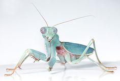 jade mantis