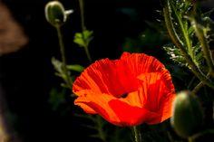 Poppy by Horst Buttkau - Photo 157072685 / 500px