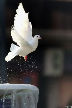 "2/19 #2. This white dove represents Babamukuru. In the story, Tambu says that ""Babamukuru was God, therefore I have arrived in Heaven"". Relating Babamukuru to God is a metaphor. Tambu is expressing how powerful Babamukuru is and how he is above very one else. The dove is white because Babamukuru was educated by white people, and they formed him into being the powerful man Tambu adores."