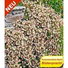 Steingarten-Stauden-Mix, 10 Pflanzen - BALDUR-Garten GmbH
