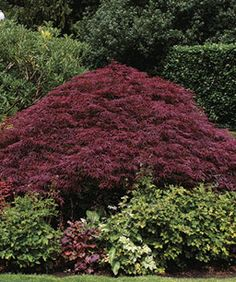 Lace Leaf Japanese Maple Pruning Japanese Maples (all types): The right cuts reveal a branch pattern that looks good with leaves or without