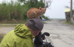 A little island ginger kitten walks up to a Wildlife photographer Mitsuaki Iwago while he is filming on the island of Okinawa. This furry island dweller decides to take a hike up on the photographer and rest on his head for a nice view.  [Scroll down for video]   Kitty is giving the photographer som...