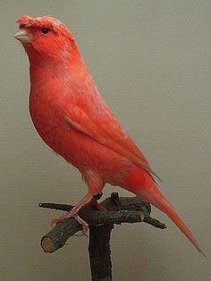 can: Tropical Birds, Colorful Birds, Pretty Birds, Beautiful Birds, Zebra Finch, Canary Birds, Backyard Birds, Beautiful Friend, Small Birds