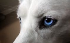 Preview wallpaper eyes, dogs, blue, wool