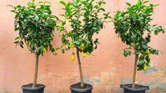 Citronträd – så odlar du citron hemma | Mitt kök Pots, Comment Planter, Plantation, Sustainable Living, Clever Diy, Indoor Garden, Afternoon Tea, Gardening Tips, Homesteading