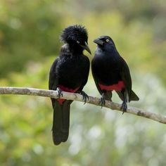 Red-Bellied Grackles~ aka PITA birds. The fluffy headed one reminds me of an old supervisor...LOL.