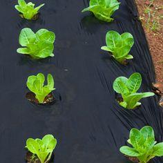 BioAgri Garden Biologisk nedbrytbar hagefolie til grønnsaks-, urte.-, og blomsterbed. Den komposterbare hagefolien forhindrer veksten av ugress uten bruk av kjemikalier.