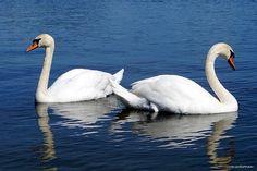 Swan, Bird, Animals, Photos, Swans, Animales, Animaux, Birds, Animal Memes