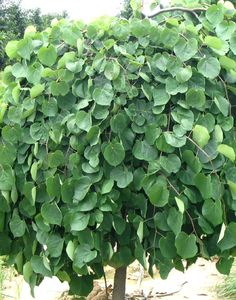 Lavender Twist Redbud Trees | Cercis canadensis Covey Tree Pictures | Moon Nurseries