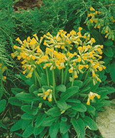 Primula veris ´Cabrillo´ / Petrklíč / Prvosenka jarní citrónově žlutá, K9