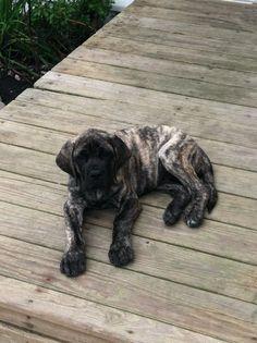 English Mastiff, Sophia, 11 weeks old
