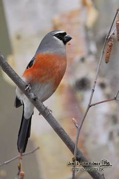 GREY-HEADED BULLFINCH - Pyrrhula erythaca . . . Bhutan, China, India, Myanmar, Nepal, Taiwan