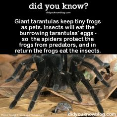 Giant tarantulas keep tiny frogs as pets. Insects will eat the burrowing tarantulas' eggs - so the spiders protect the frogs from predators, and in return the frogs eat the insects. Source