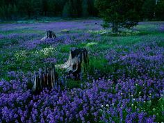 Penstemons, Tahoe National Forest    Photograph by Raymond Gehman, National Geographic    A field of penstemons surround burnt-out tree trunks in Tahoe National Forest, Nevada.