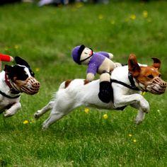 Welche Hunderasse ist am schnellsten? Greyhound  Angeführt wird die Top 5 der schnellsten Hunde der Welt vom Greyhound. Das Sprintwunder schafft es, mit annähernd 80 km/h über Stock und Stein zu jagen. Gerade für sportbegeisterte Menschen, die öfter mal eine Runde im Park drehen, eignen sich die Tiere besonders gut als treue Begleiter.