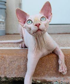 "Sphynx Cats Kittens, NADA Sphynx, Devon Rex, Lykoi, Donskoy, Sphinx, esfinge, sphynx cats for sale, hairless cats for sale, sphynx kittens, sphynx breeders, sphynx for sale, sphynx kittens for sale, sphynx cat breeders, hairless cat breeders, hairless cat adoption, sphynx cat adoption, buy hairless cat, sphynx Florida, sphynx ontario, canadian sphynx, curly coated, werewolf, <meta name=""msvalidate.01"" content=""7492326A8260D797C9DA38294CD6E8C5"" /> Spring Hill, FL Gallery"
