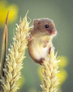 Harvest Mouse just chillin' Photo by – All Pictures Wildlife Nature, Nature Animals, Animals And Pets, Wild Animals, Cute Creatures, Beautiful Creatures, Animals Beautiful, Forest Creatures, Cute Baby Animals