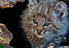 Ultra cute bobcat kitten! Join #wildographydudette Shayne McGuire and Wild Compass Tours on an exciting wild animal babies photographic workshop in Montana in June 2017. Only four spots remaining. All hands on help with your settings, equipment and...