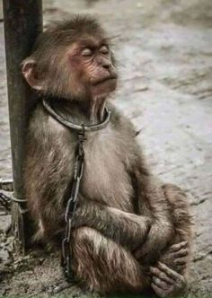 """Earth was created for all life,not just human life!Animals are not slaves,so stop animal abuse"". Amor Animal, Mundo Animal, Primates, Save Animals, Animals And Pets, Monkeys Animals, Stop Animal Cruelty, Animal Welfare, Animal Rights"