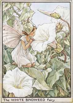 Illustration for the White Bindweed Fairy from Flower Fairies of the Wayside. A girl fairy kneels facing left, lloking into the trumpet of a bindweed flower.  										   																										Author / Illustrator  								Cicely Mary Barker