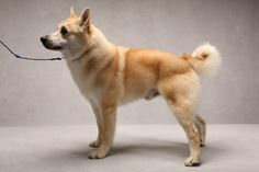 Cash the Norwegian Buhund (Herding). Cash, registered as Trollheimen Kiss My Cash, is owned by Else Turner.(Fred R. Conrad, a New York Times photographer, set up a studio at the 2013 Westminster Kennel Club dog show and invited Best of Breed winners to pose.)