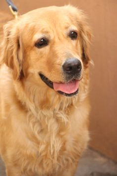 Tweety Golden Retriever | Pawshake LAVERTON