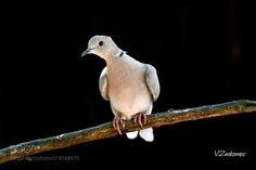 Горлица кольчатая (Vladislav Znakomov / Mосква / Россия) #nikon D500 #animals #photo #nature