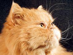 Dream... To own a persian cat/kitten