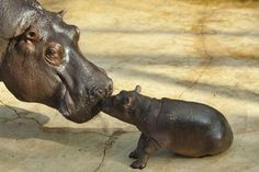 momma hippo and baby kissing